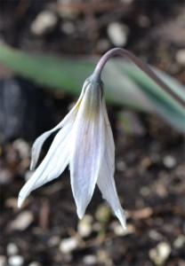white trout lily April 15 2012