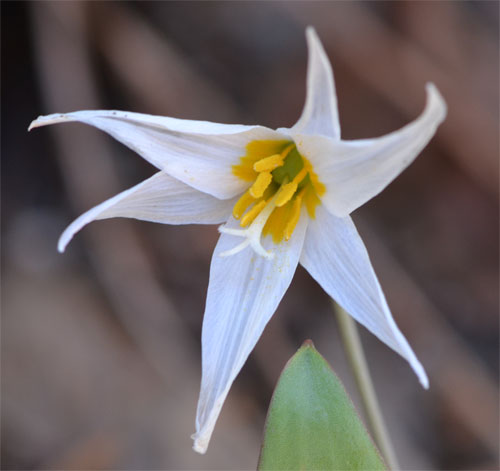 White trout lily Cummaquid April 21, 2012