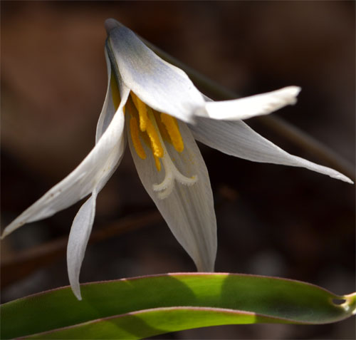 white trout lily April 21 2012
