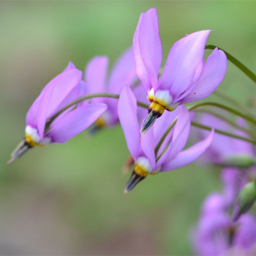 Dodecatheon meadia May 7 2012