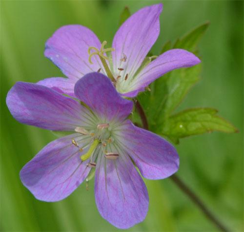 Geranium maculatum May 13 2012