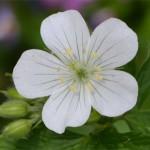 Geranium maculatum alba May 13 2012