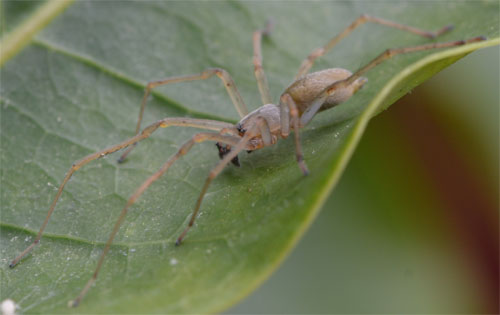 Cheiracanthium sp. June 3 2012