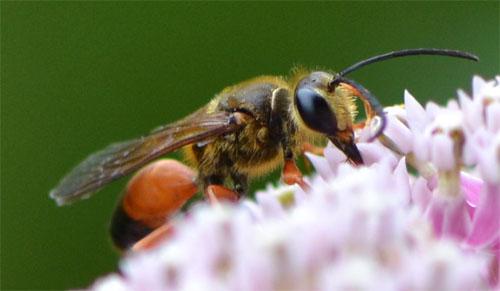 great golden digger wasp July 22 2012