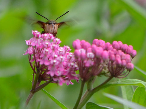 hummingbird moth July 22 2012