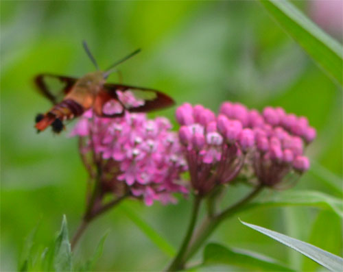 hummingbird moth hovering over milkweed July 22 2012
