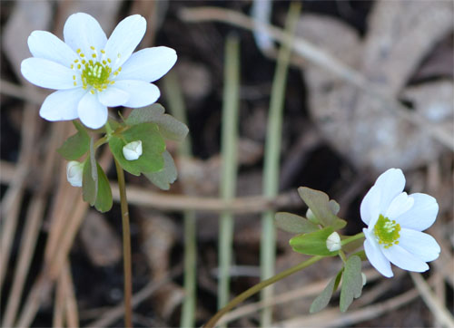 I had only a few plants 3 years ago. With some 10+ plants visible this year, rue anemone is slowly but surely establishing itself in the woodland garden