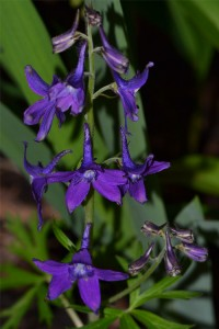 Delphinium tricorne displaying its velvety blue flowers April 28 2013