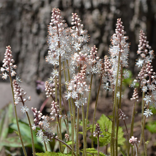 Foamflower (Tiarella cordifolia) in full bloom April 28 2013