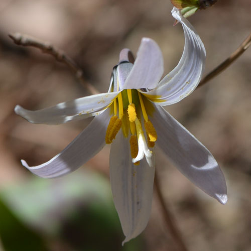 The white trout lily is barely a few inches tall, but it makes up for size with this beautiful display