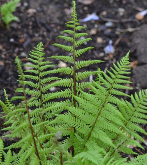 northern lady fern May 2013