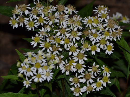 flat topped aster September 23 2013