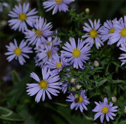The blue hues of smooth aster are simply stunning