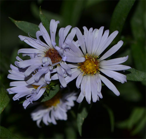 new york aster flowers up close and personal - September 23 2013