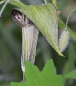 jack-in-the-pulpit June 1, 2014
