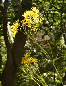 sawtooth sunflower August 25 1014
