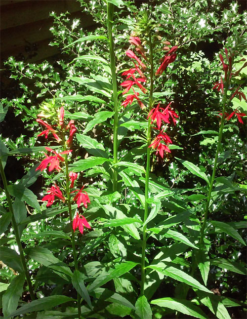 cardinalflower June 2014