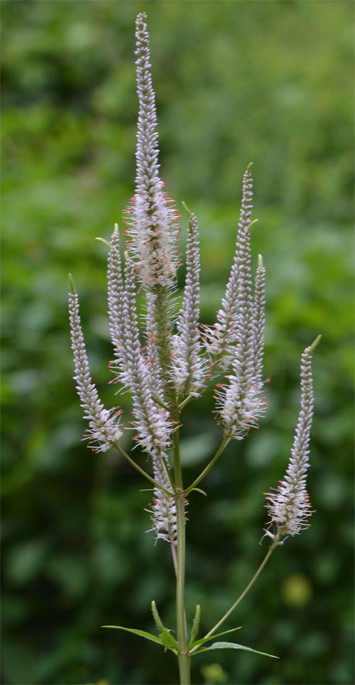 Veronicastrum virginicum July 27