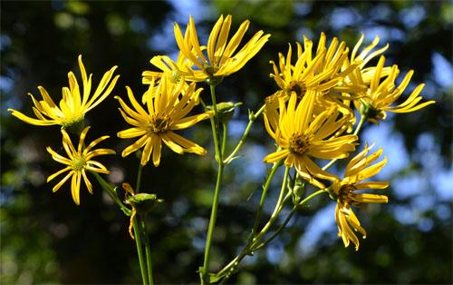 Sawtooth sunflower August 25