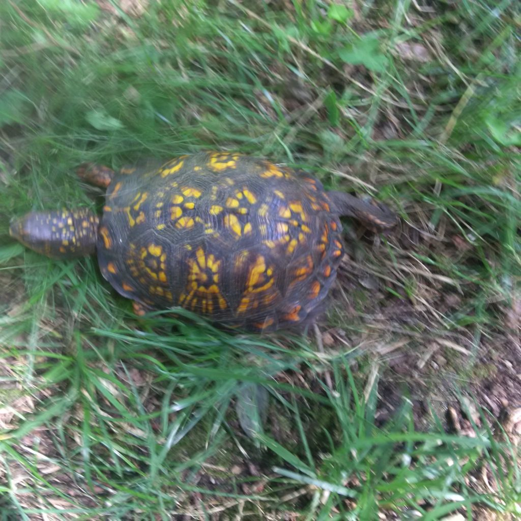 Box turtle from above